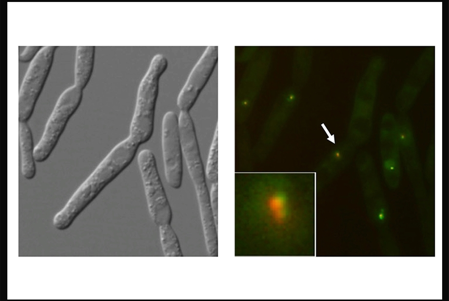 microscopy images of Ustilago maydis, right panel shows telomere-binding protein