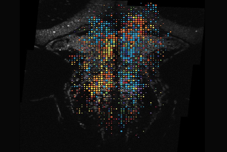 multicolor dots representing zebrafish neurons in the brain