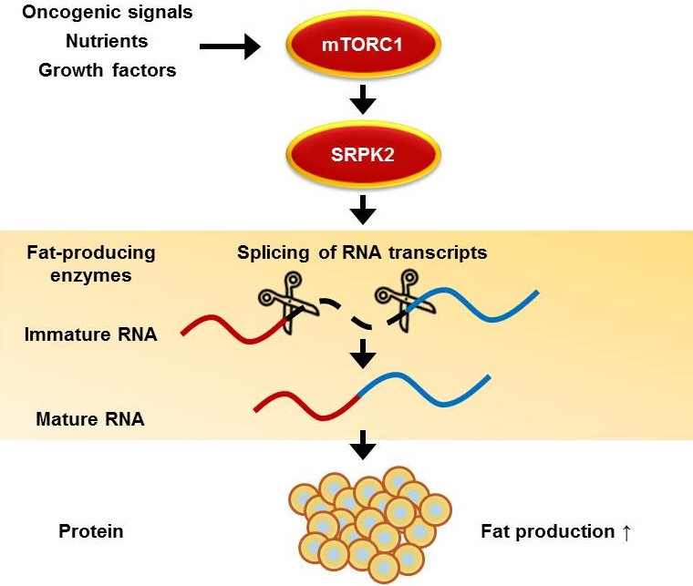 Schematic: This schematic outlines the signaling pathway by which a protein complex, called mTORC1, abets cancer cell growth. mTORC1 induces the activation of the enzyme SRPK2. Once activated in a cell, SRPK2 moves into the cell nucleus and ensures that R